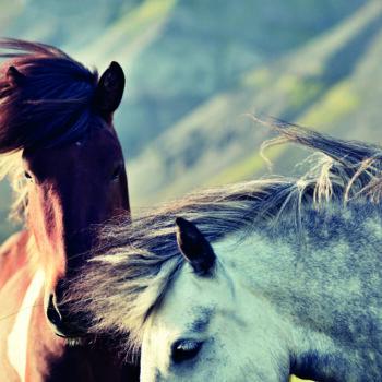Two Iceland horses